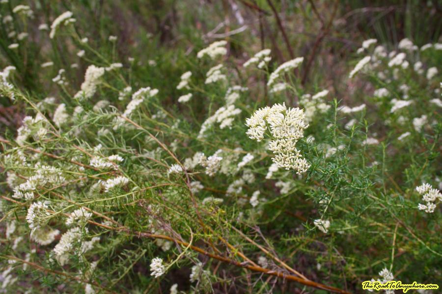 Wild flowers in Girraween National Park, Australia