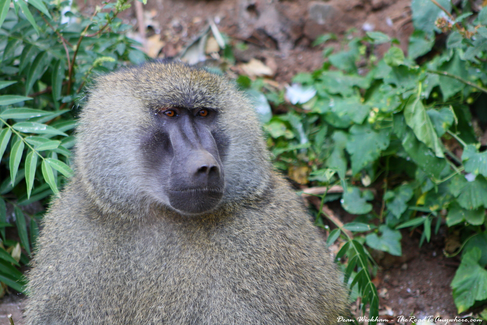 Male baboon in Lake Manyara National Park, Tanzania
