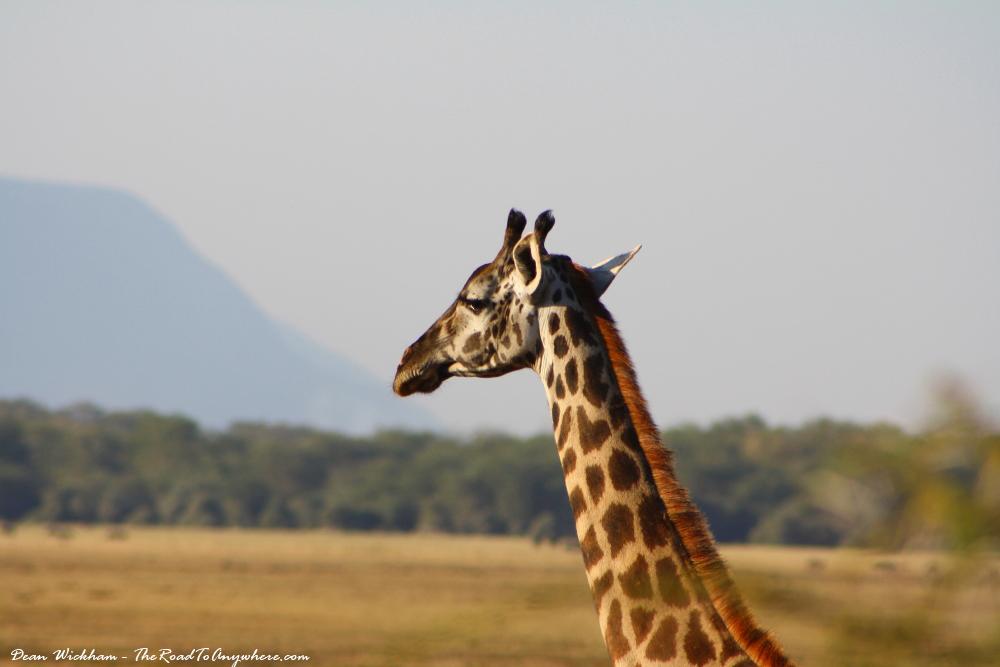 A giraffe in Lake Manyara National Park, Tanzania