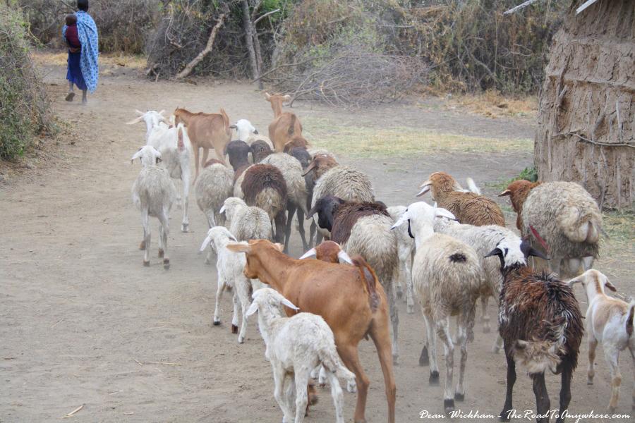 A goat herd in a Masai Village in Tanzania