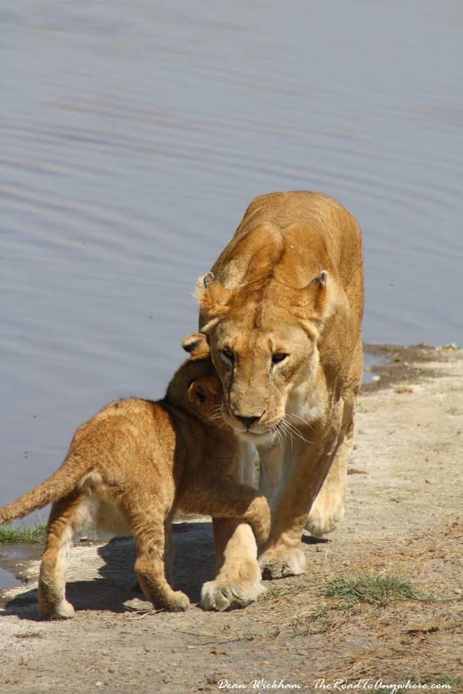 A lion cub playing with a lioness at a waterhole in Serengeti National Park, Tanzania