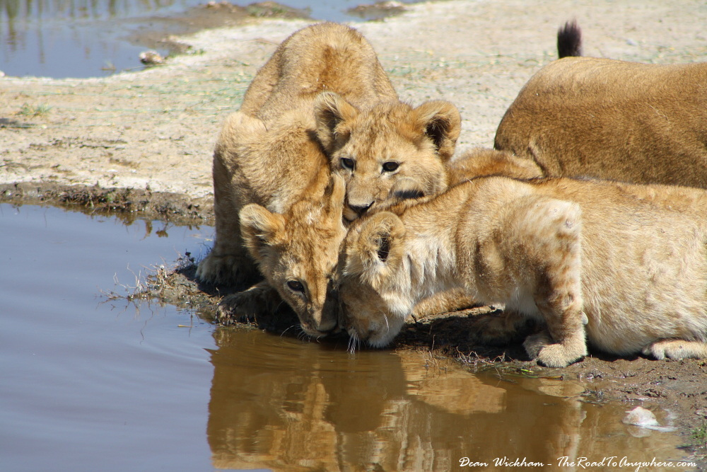 Lion cubs drinking water in Serengeti National Park, Tanzania
