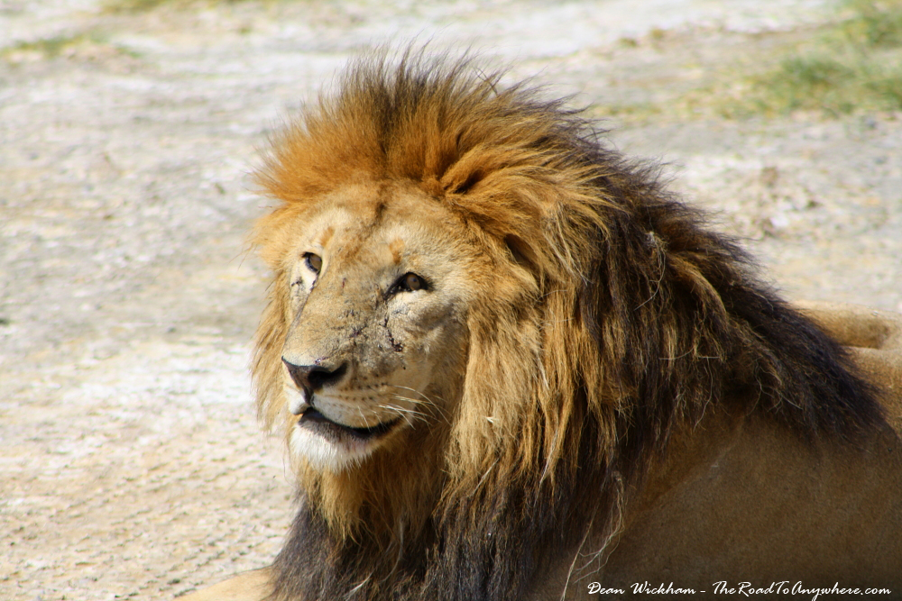Up close with a male lion in Serengeti National Park, Tanzania