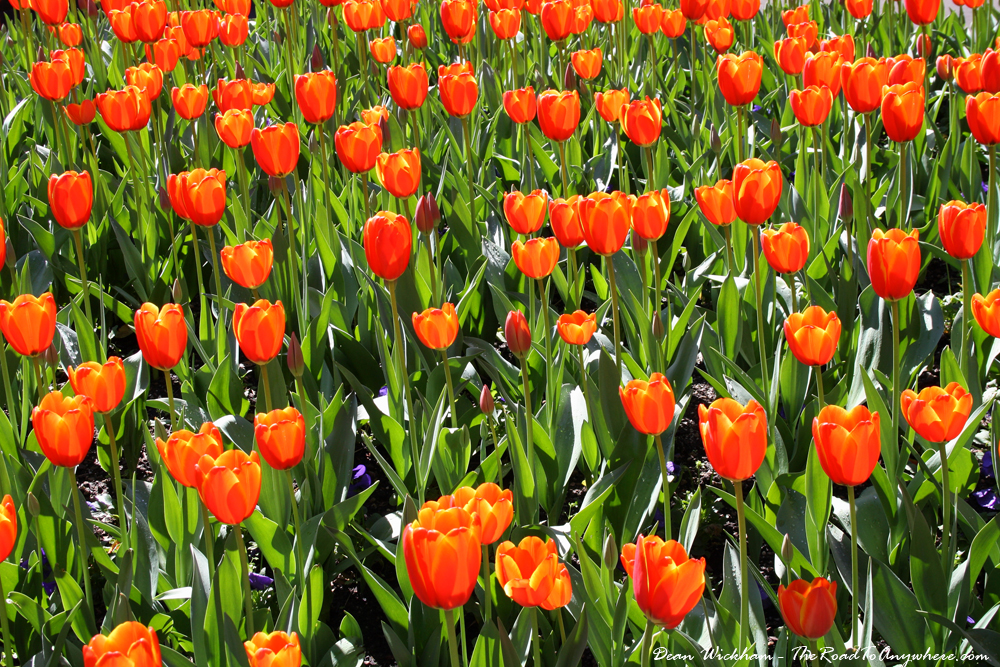 Beautiful tulips flowers in the Royal Botanic Gardens in Sydney, Australia