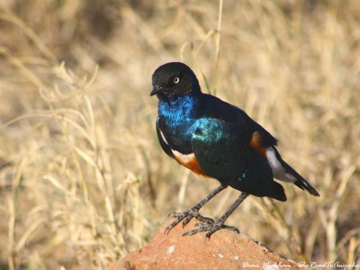 A superb starling in Serengeti National Park, Tanzania