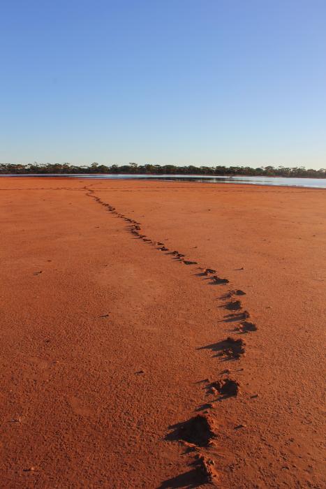 Emu footprints in a lake bed on the Nullarbor, Western Australia