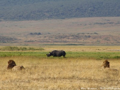 Two male lions watching a black rhino