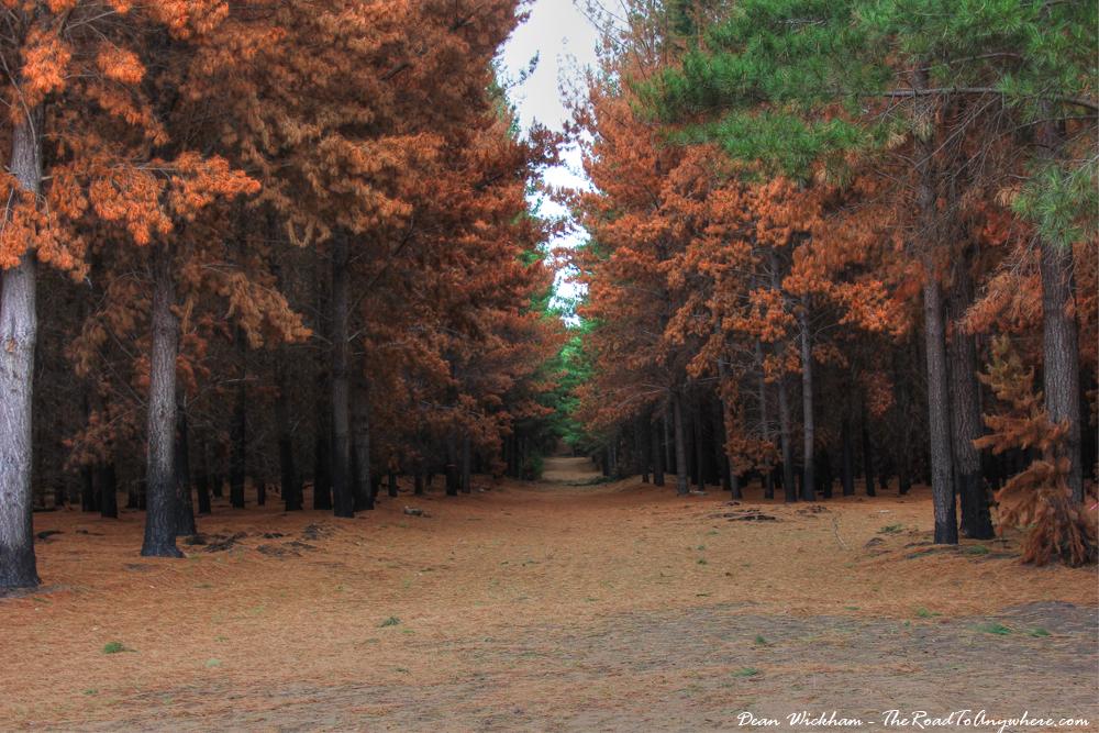 Pine Tree Path in Western Victoria, Australia