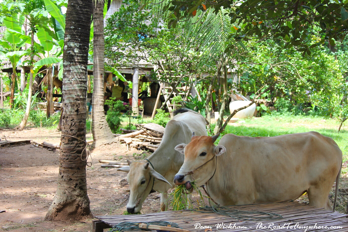 Cows on Koh Trong in Cambodia