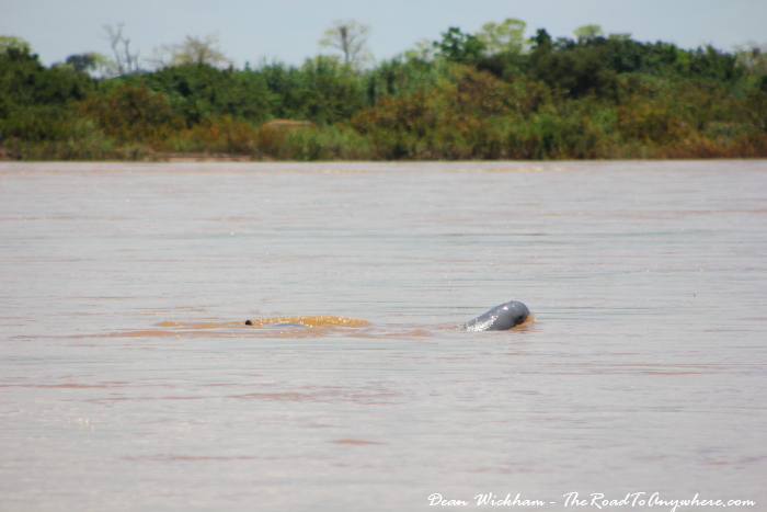 An Irrawaddy Dolphin in the Mekong River in Cambodia