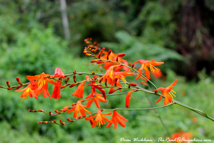 Flowers in the Cameron Highlands, Malaysia