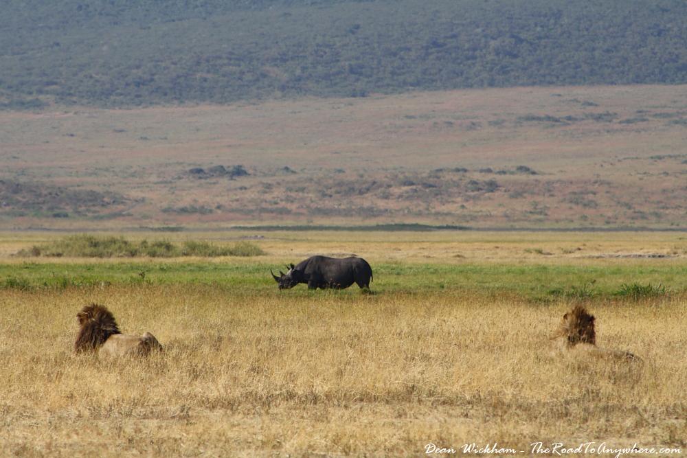 Two lions watch a rhino in Ngorongoro Crater, Tanzania