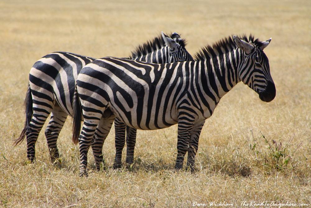 Zebra in Ngorongoro Crater, Tanzania