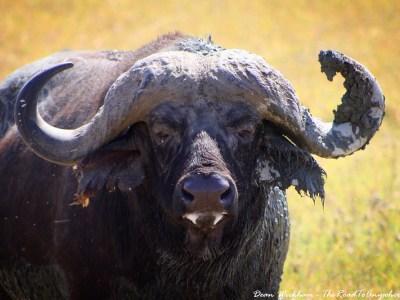 Buffalo in Ngorongoro Crater, Tanzania