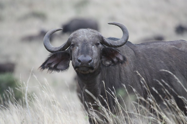 Cape Buffalo at Nairobi National Park