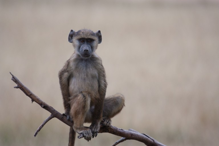 Young Baboon in Amboseli