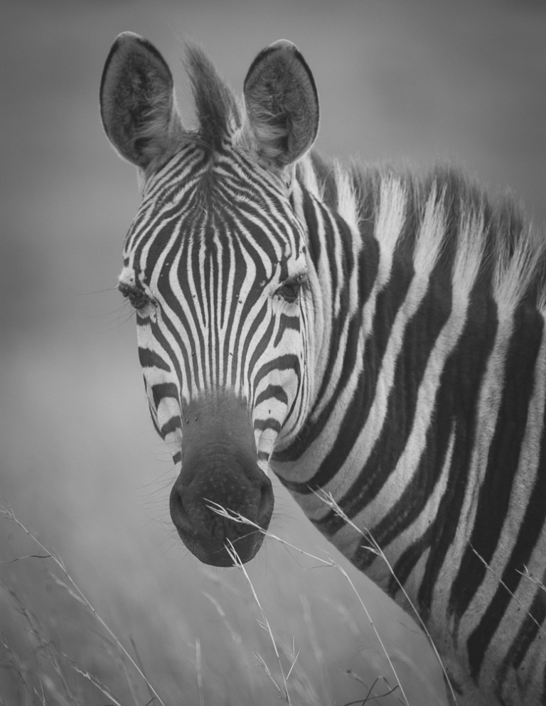 Zebra in Nairobi National Park