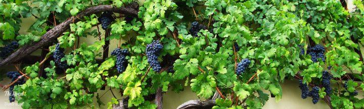The world's oldest vine in Maribor, Slovenia