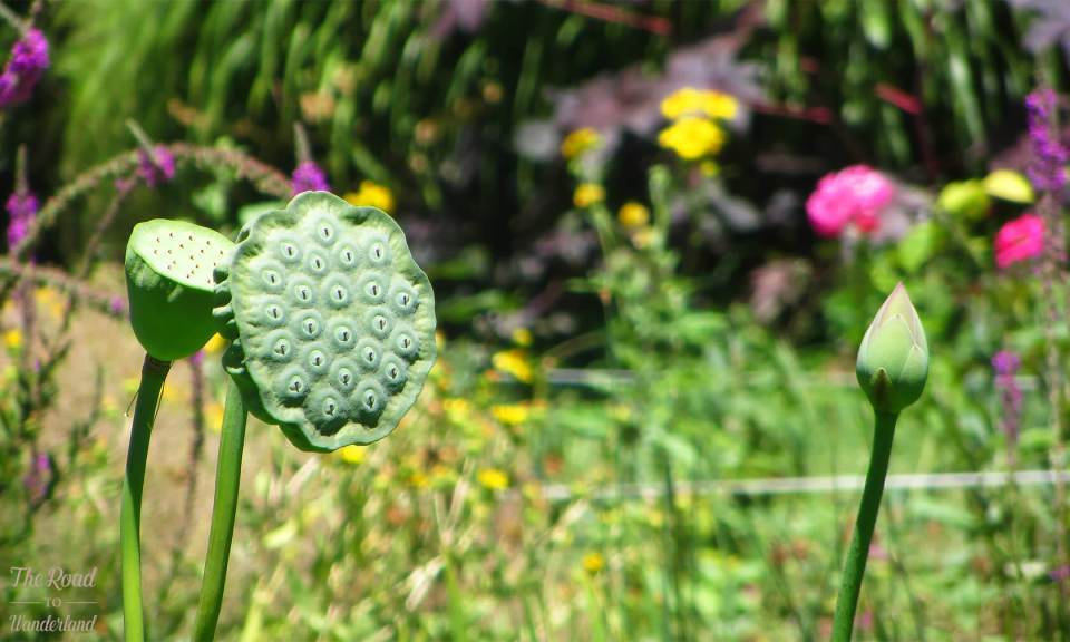 Lotus seed pods and bud against a vibrant background