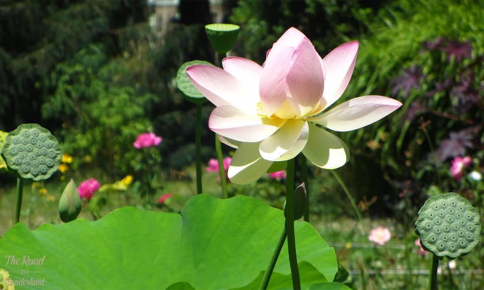 Lotus flower, Jardin des Plantes