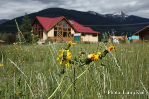 Invasive plants in the field beside the Valemount Visitor Info Centre.