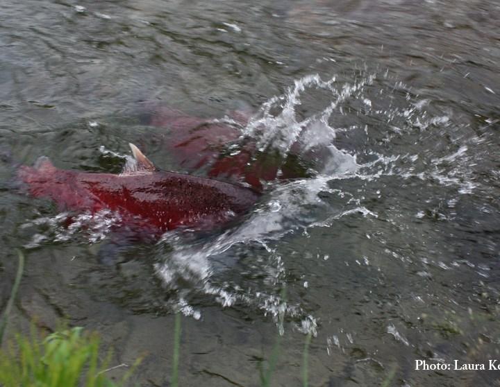 Spawning salmon arrive!