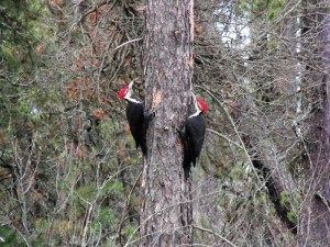 Woodpeckers in the Community Forest