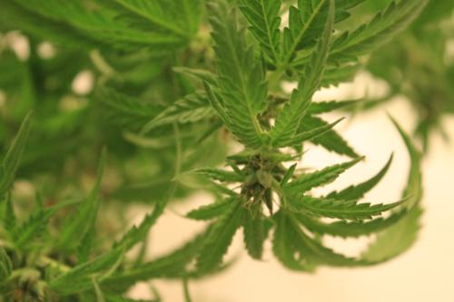 Medical marijuana zoning struggles continue