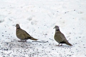 bird, dove, bird count