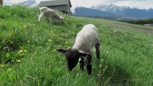 lamb spring burstrom (2)