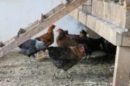 backyard hens chickens eggs (13)