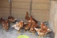 backyard hens chickens eggs (3)