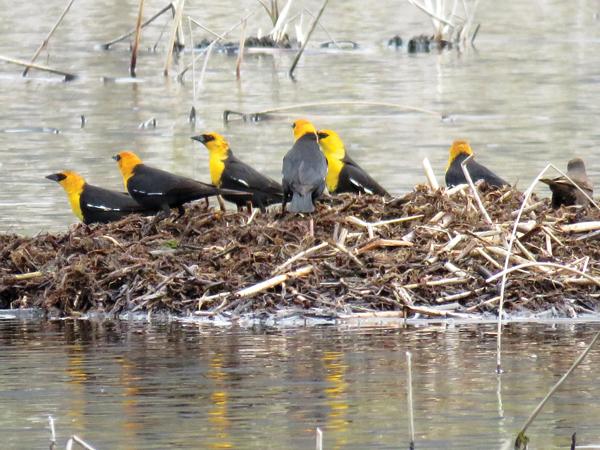 Edna Maclean marsh birds (1)