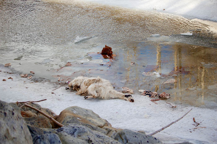 Carcasses rotting near Kinbasket