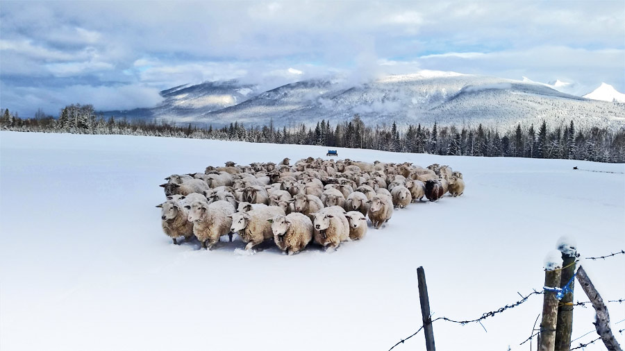 Hani-and-Theres-Gasser-sheep_snow