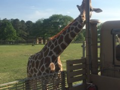 Fearless giraffe.