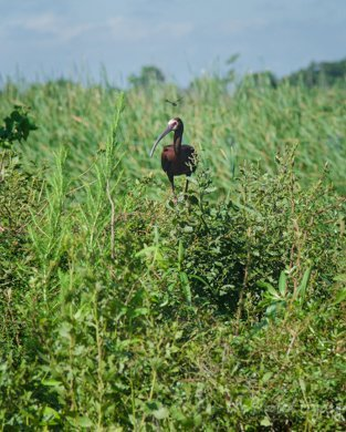 Whitefaced Ibis