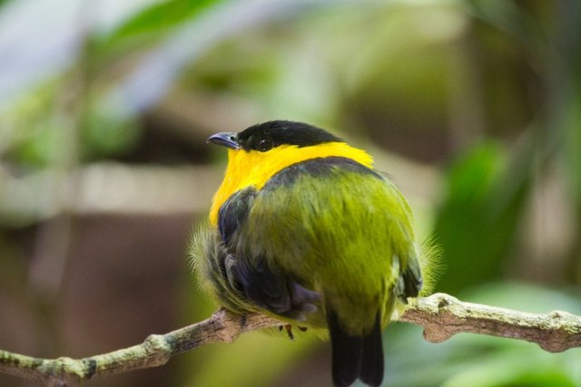 Golden-collared manakin at Dallas World Aquarium