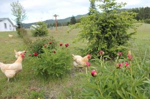 Chickens in the peonies.