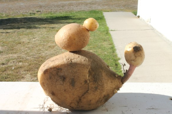 Potato family