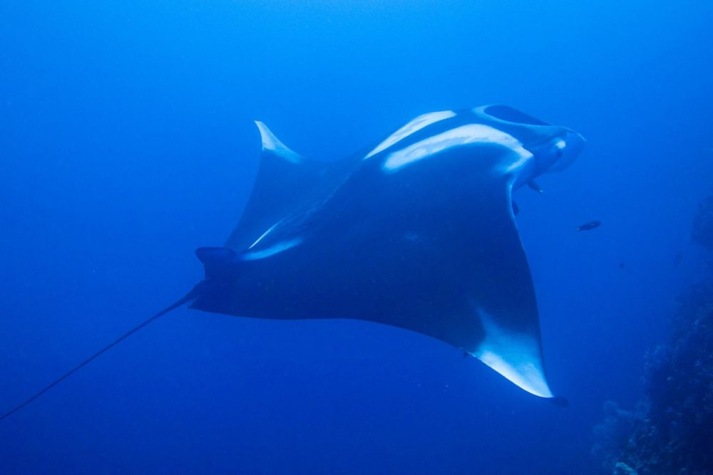 Manta Ray in a column of blue water