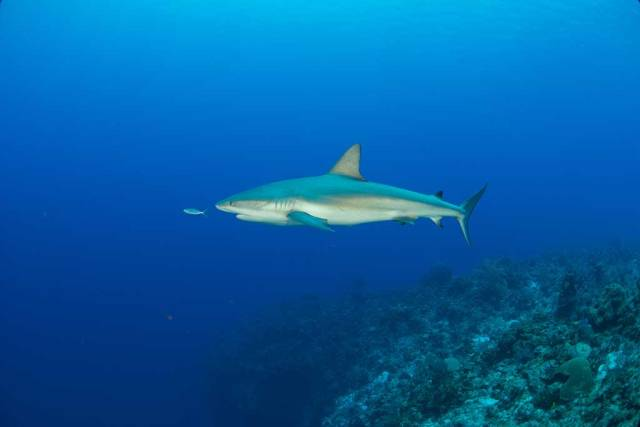 Turks and Caicos Aggressor - One of the many sharks we encountered