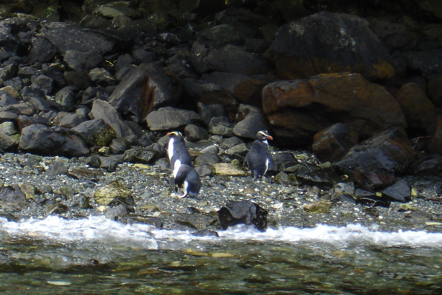 Fiordland Crested Penguins on a beach at Milford Sound