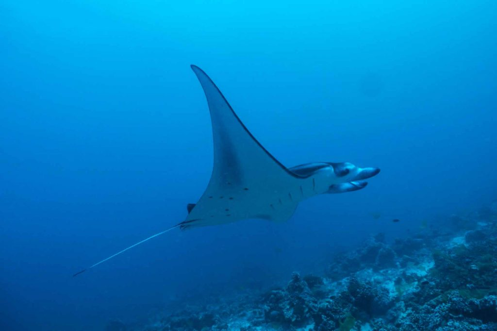 komodo national park diving with reef mantas