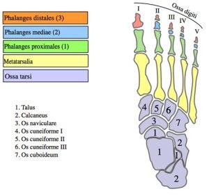 The bones of your foot