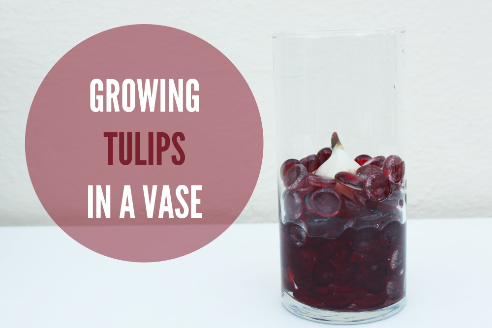 Growing Tulips in a Vase