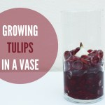 Forcing Bulbs: Growing Tulips in a Vase