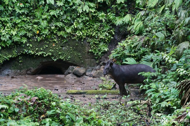 5 unmissable experiences in Peru -A wild tapir in the amazon rain forest