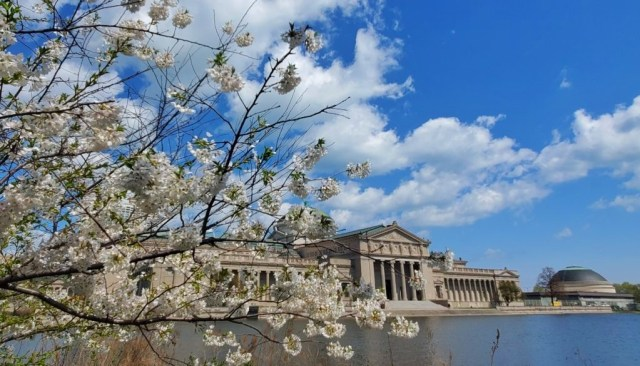 cherry blossoms in Chicago in the spring