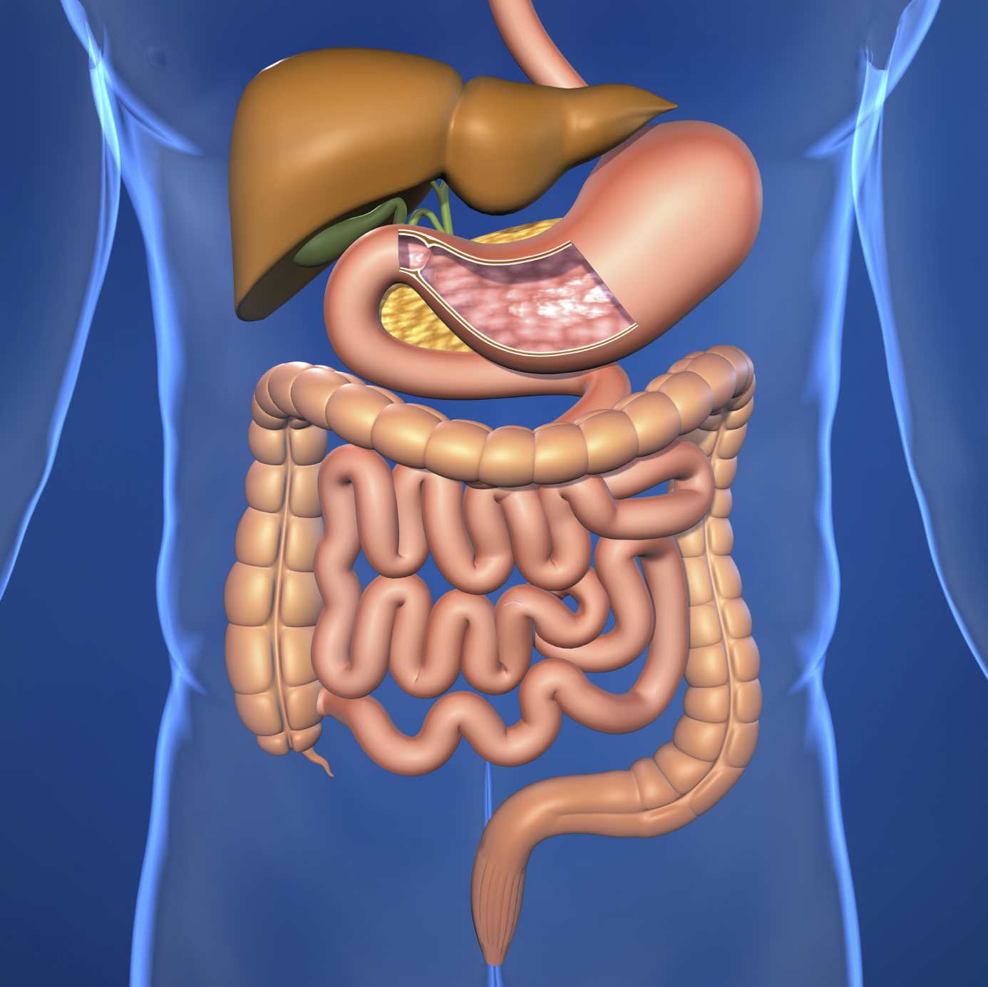 hight resolution of human digestive system